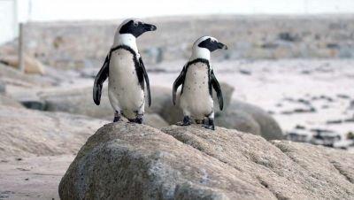 Nieuw op Netflix: docuserie 'Penguin Town' over een bijzondere pinguïnkolonie in Zuid-Afrika